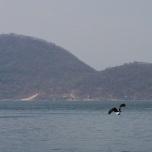 Fischadler, Cape Mclear, Malawi